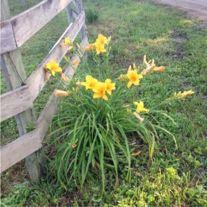Nimrod Hall Writers' Workshop day lilies by fence
