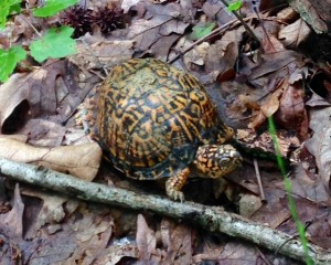 Male Eastern box turtle