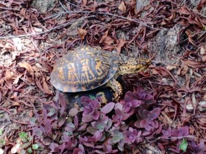 eastern box turtles mating