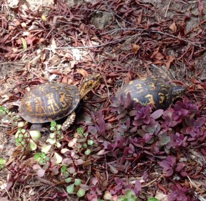 Eastern box turtles before mating
