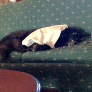 dog asleep on sofa under blanket