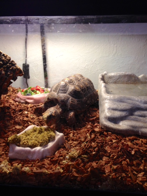red footed tortoise in tank