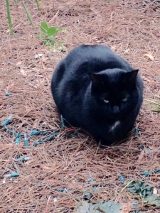 black cat crouched outside