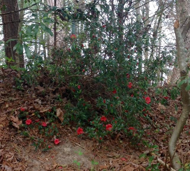 azaleas blooming in spring
