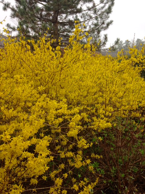 forsythia blooming in spring