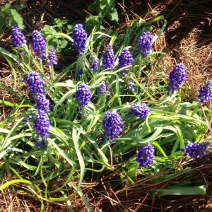 grape hyacinth blooming in spring