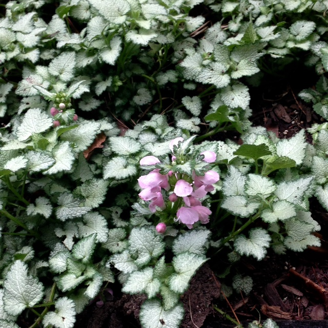 lamium blooming in spring