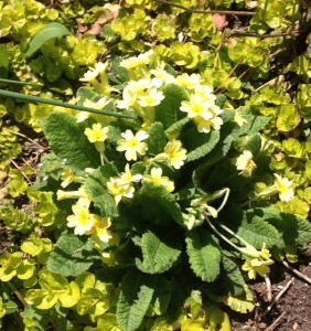 primrose blooming in spring