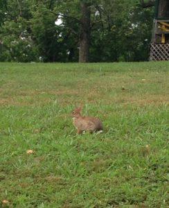 bunny rabbit nimrod hall