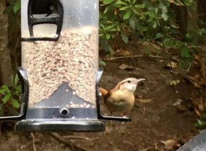 chime wrens