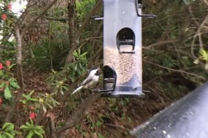 dissimulation chickadees