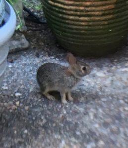 bunny virginia