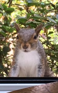 virginia squirrel