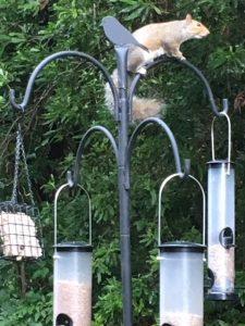 virginia wildlife squirrel
