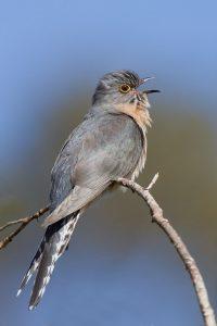 cuckoo bird