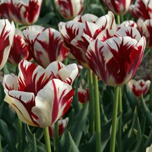 Viceroy tulips