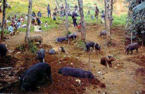 papua new guinea pigs