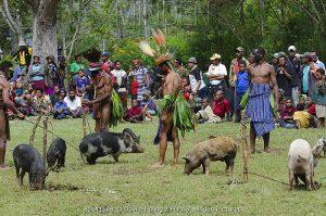 pigs papua new guinea