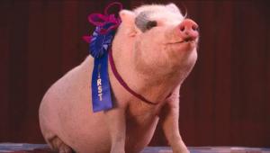 prize winning pig