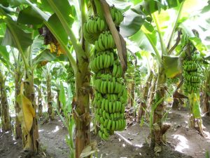 stalk of bananas on a tree
