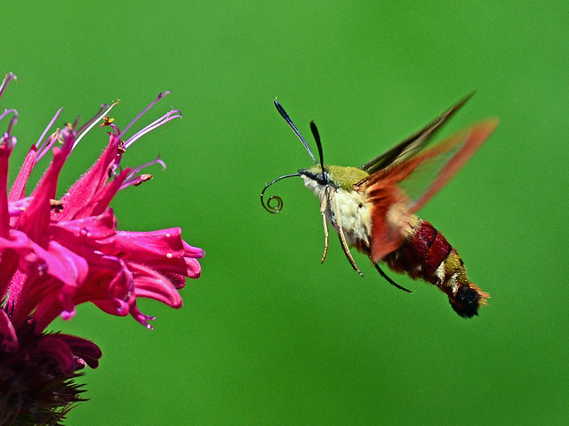 Clearwing hummingbird moth and flower